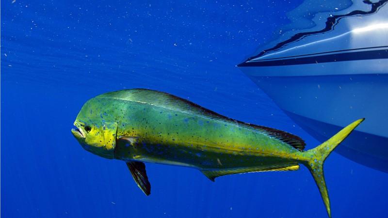 Mahi Mahi Dolphin fish