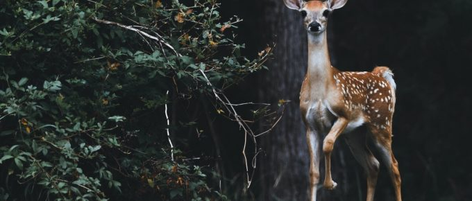 Best Times to Hunt Whitetail Deer