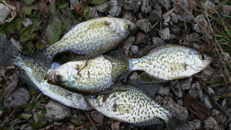 Crappies on Rocks