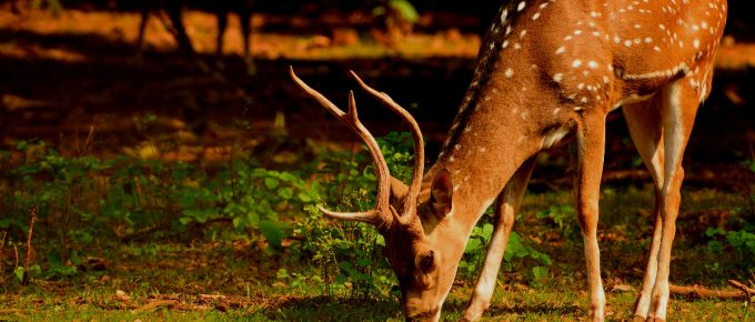 What Do Deers Like To Eat
