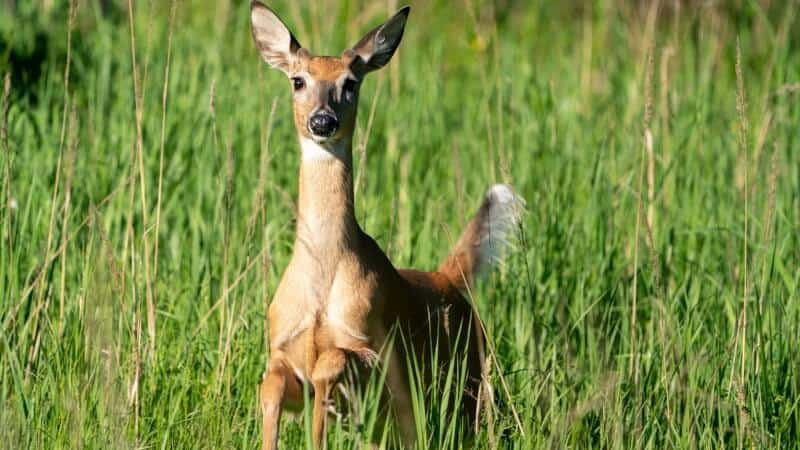 Whitetail Deer in the plains