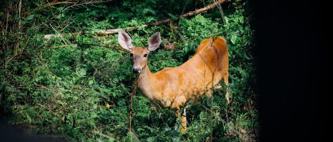 Deer Hunting with a Recurve Bow Guide